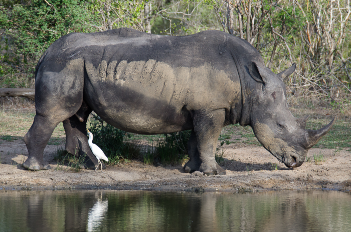 Rhino with Cattle Egret. KP