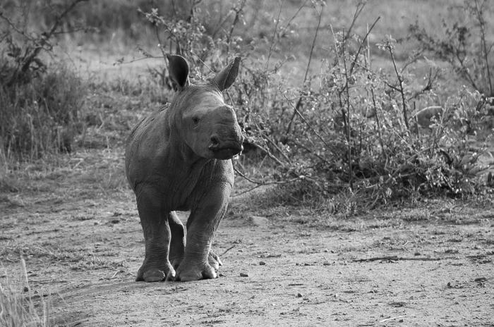 Rhino calf. KP