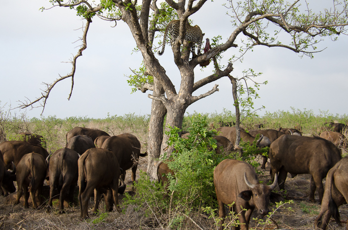 Nthoma Female with Buffalo. KP