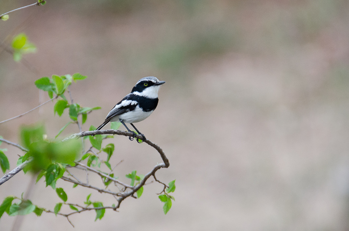 Chinspot Batis. KP