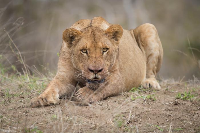 Mhangeni_Lioness_Stare