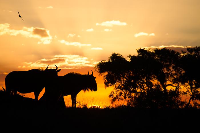 wildebeest-sunset.KP_