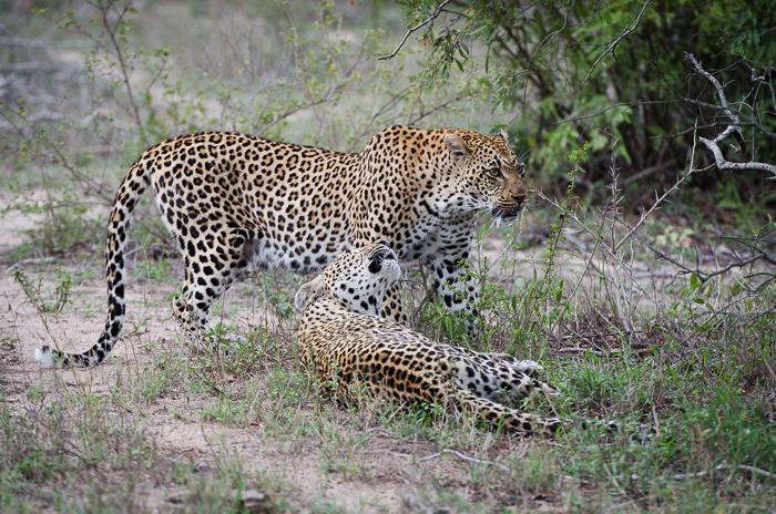 Tamboti female & Xidulu female.KP