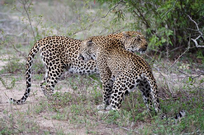 Tamboti female & Xidulu female 2.KP