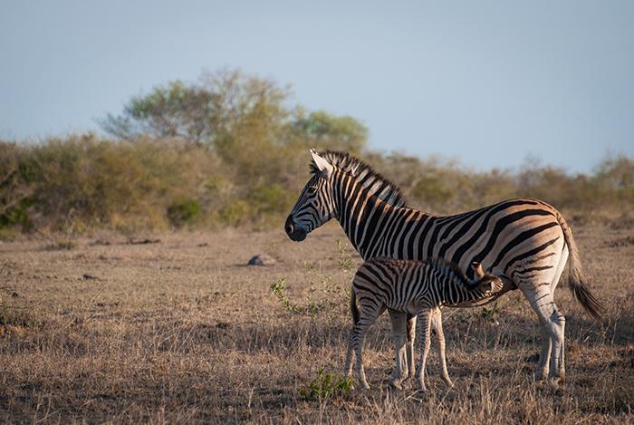 20151107-zebra1