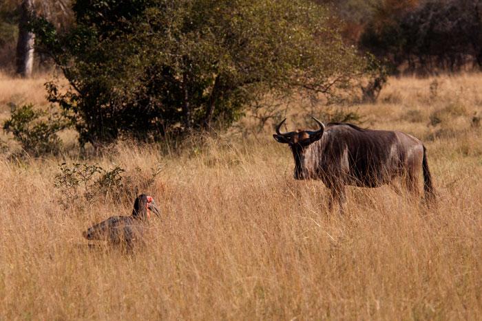 Wildbeest-and-Ground-hornbill