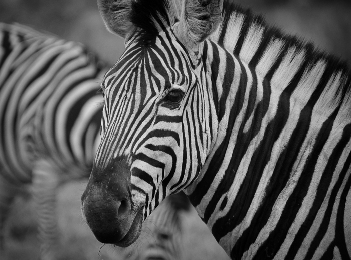 zebra black and white.KP