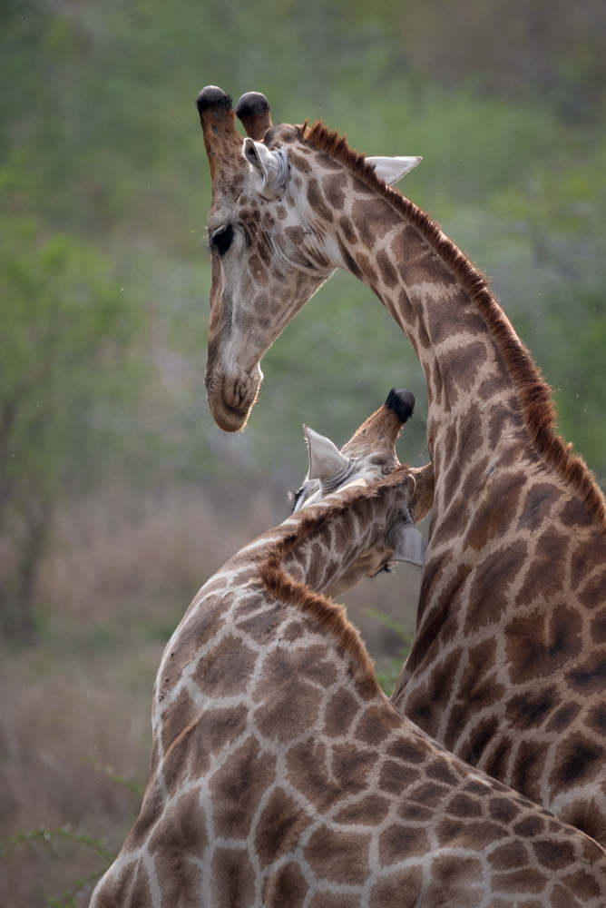 giraffe necking, nov 2015