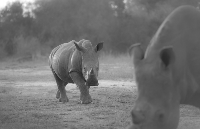 rhino calf, monochrome, oct 2015