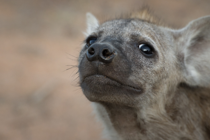 hyena cub face, nov 2015