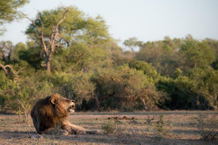 matimba male roaring, nov 2015