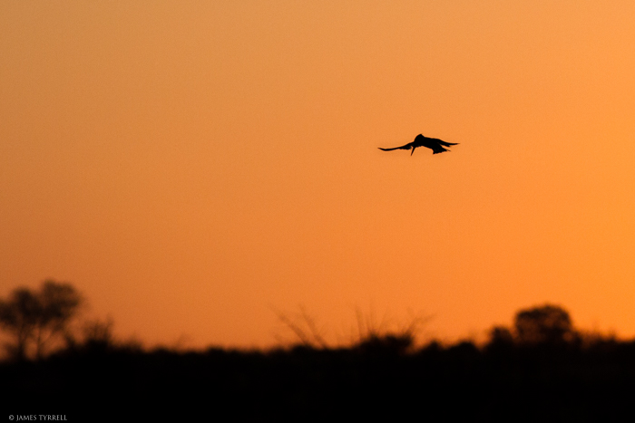 Kingfisher_Silhouette