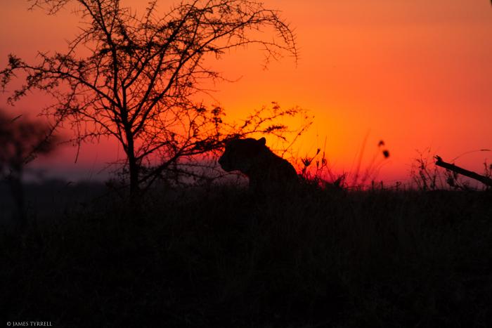 Cheetah_Bad_Silhouette