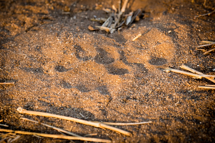 Lion_Track