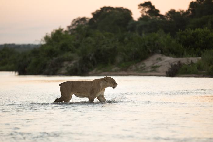 Tailless_Tsalala_Crossing_River