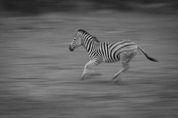 Zebra_Running