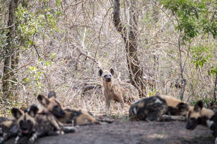 Hyena_Dogs