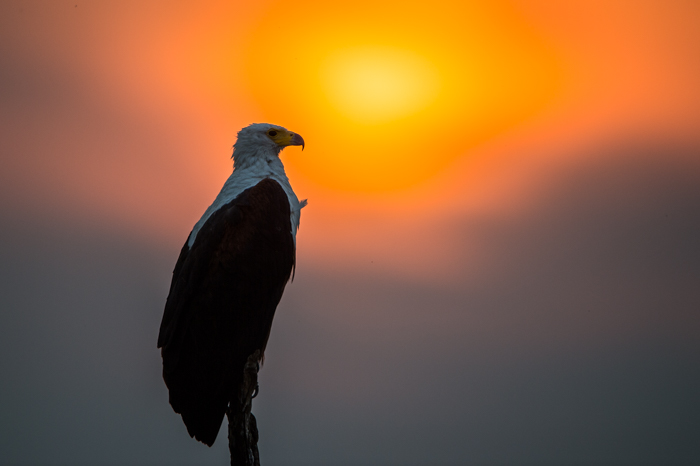 Fish_Eagle