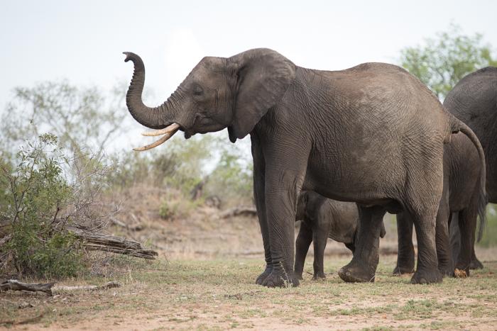 Elephant_Smell