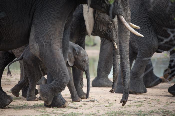 Elephant_Calf_Protect