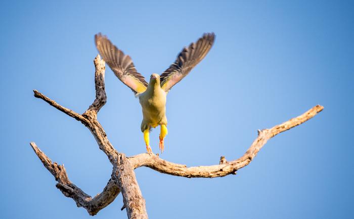 Green-Pigeon