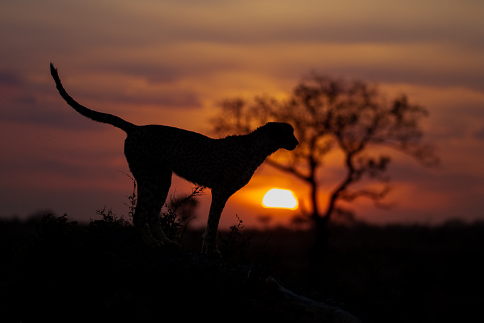Cheetah and sunset.