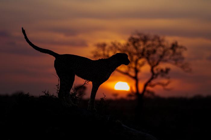 Cheetah and sunset.