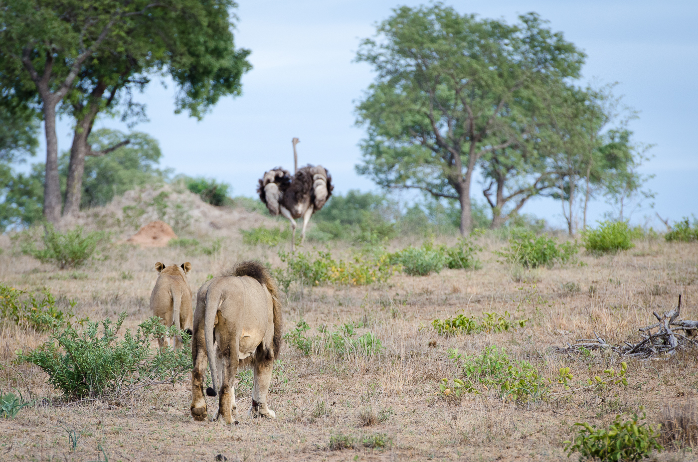 Lion Ostrich