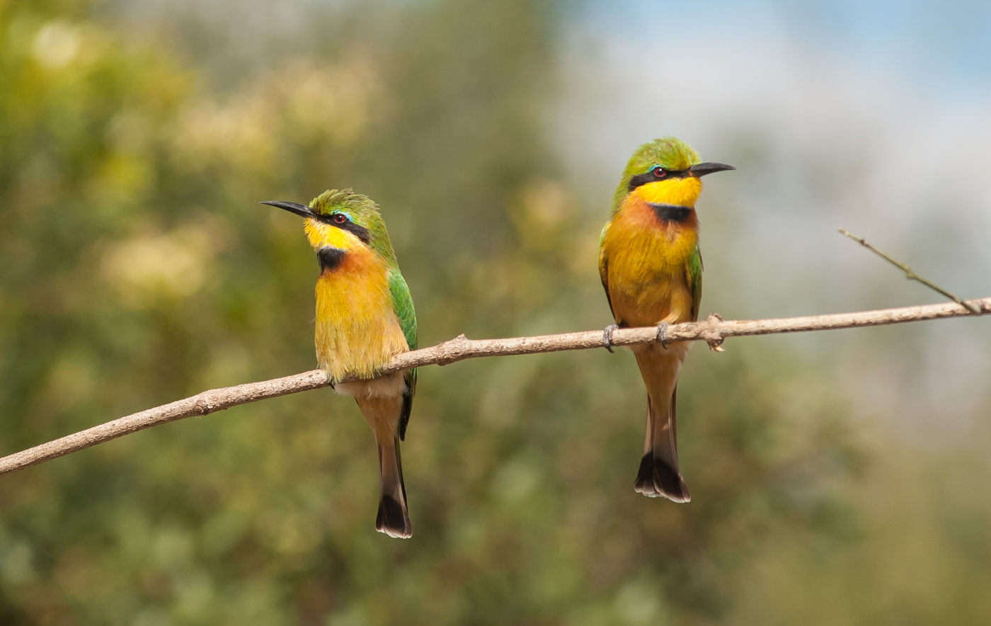 little bee eaters-1