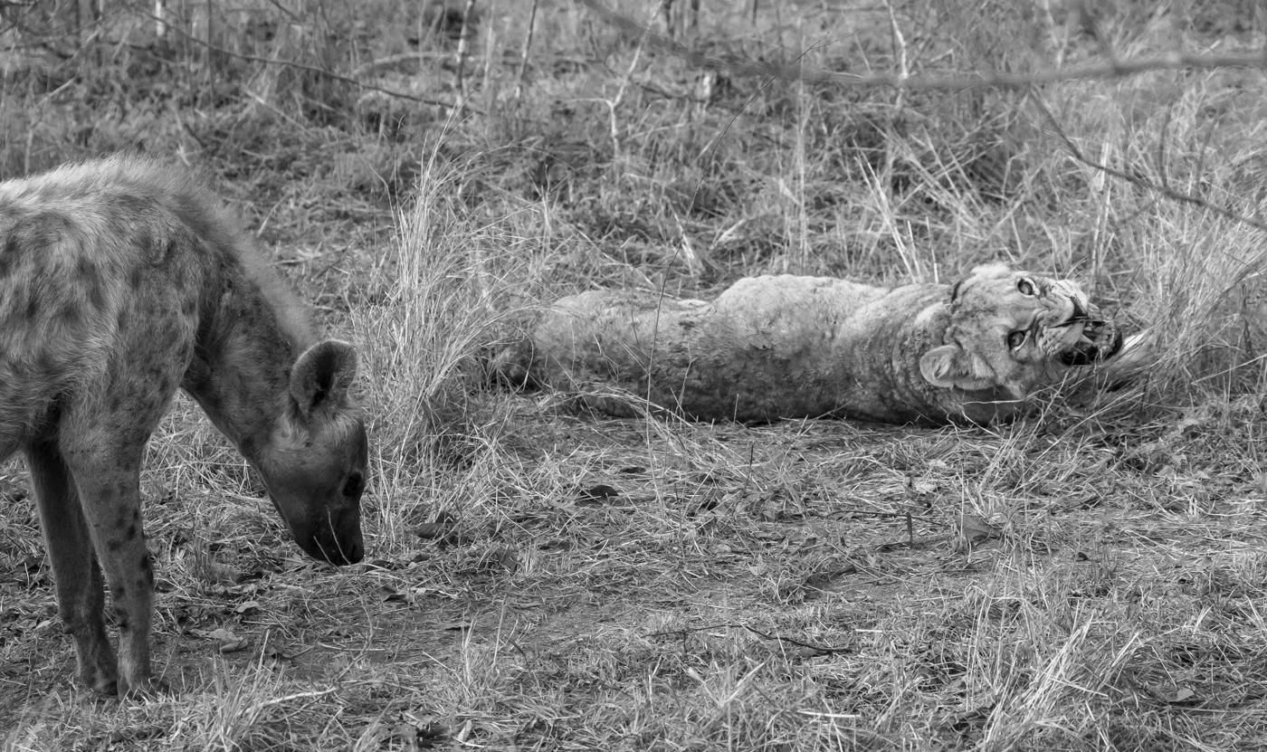 hyaena lion-1