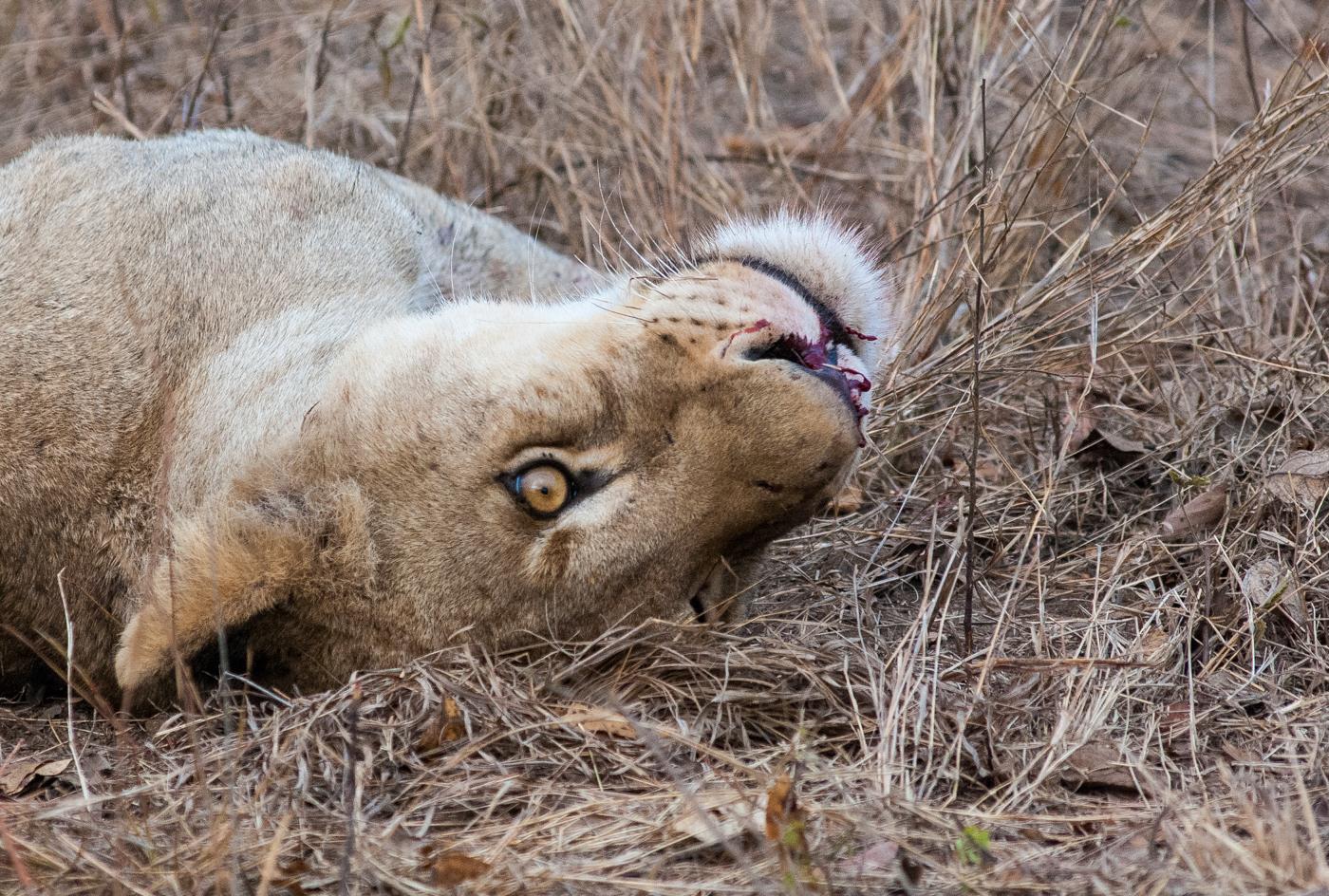 hyaena lion 2-1