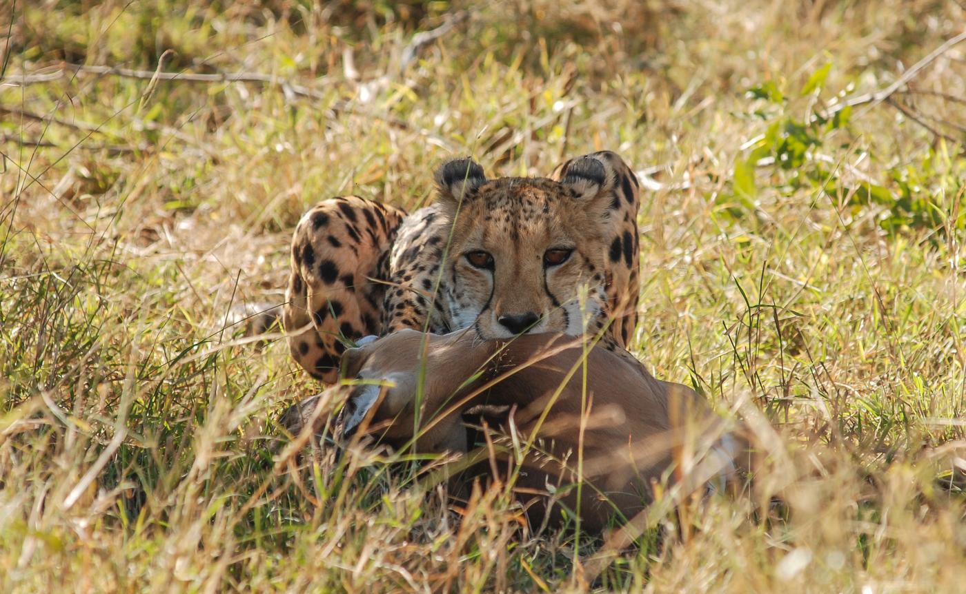 first cheetah kill-1