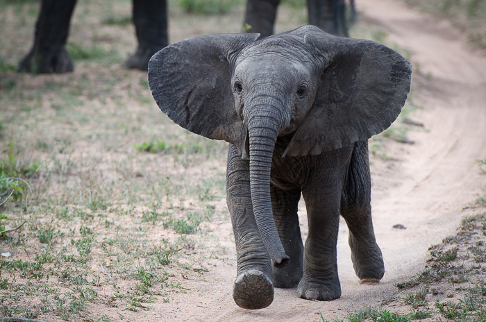 Young elephant. KP