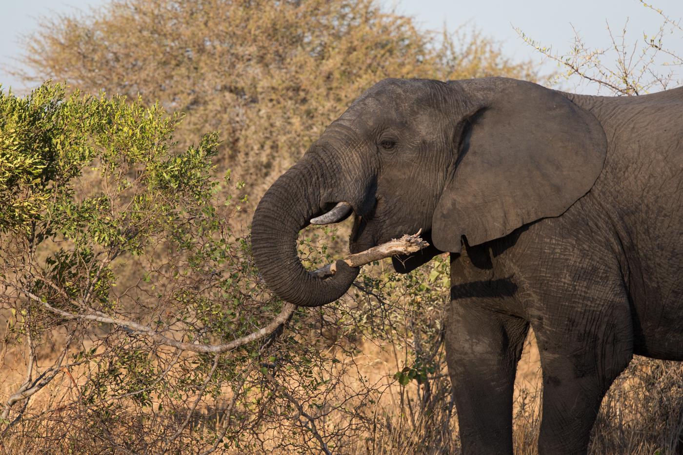 Elephant Branch