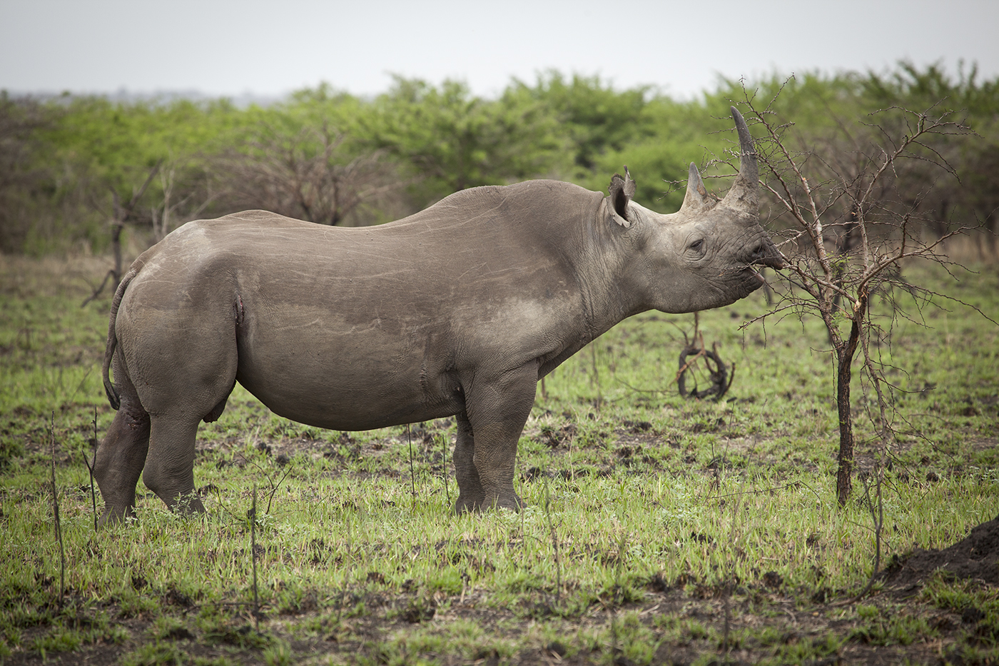 black rhinoceros Eastern black rhinos inhabit transitional zones between grasslands and forests, generally in thick thorn bush or acacia scrub however, they may also be found in more open country.