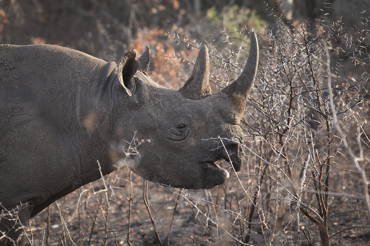 difference between white and black rhino In southern africa we have two species of the rhinocerotidea family, the white rhino and the black rhino rhino are the second largest land mammal after the elephant.