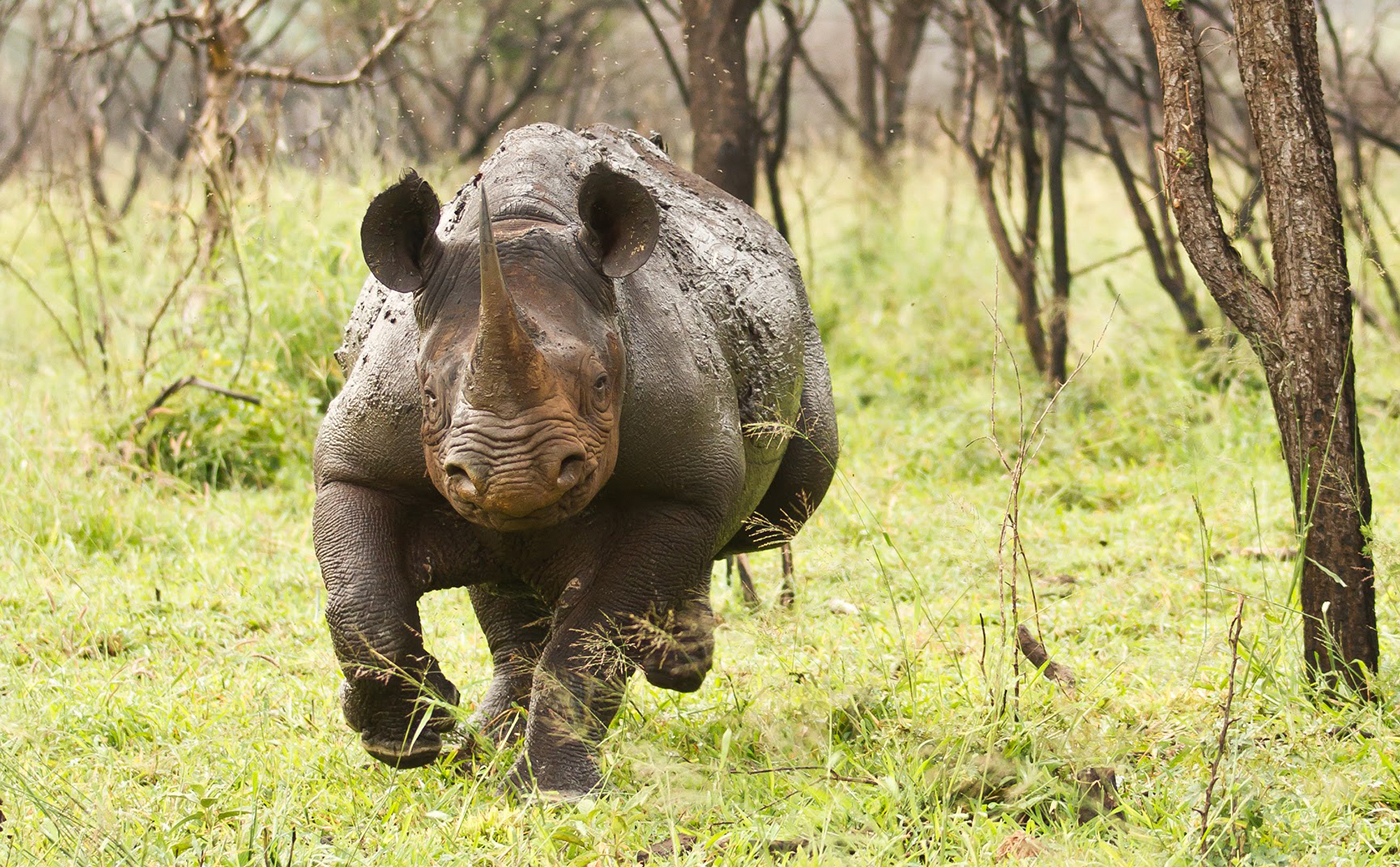 difference between white and black rhino -what is the difference between the types of white rhinoceros(southern and northern) -are they completely different or is it a small difference -did they.