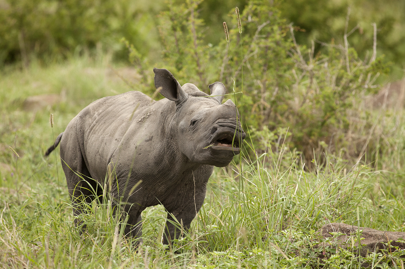 The Difference Between The White and Black Rhino | Londolozi