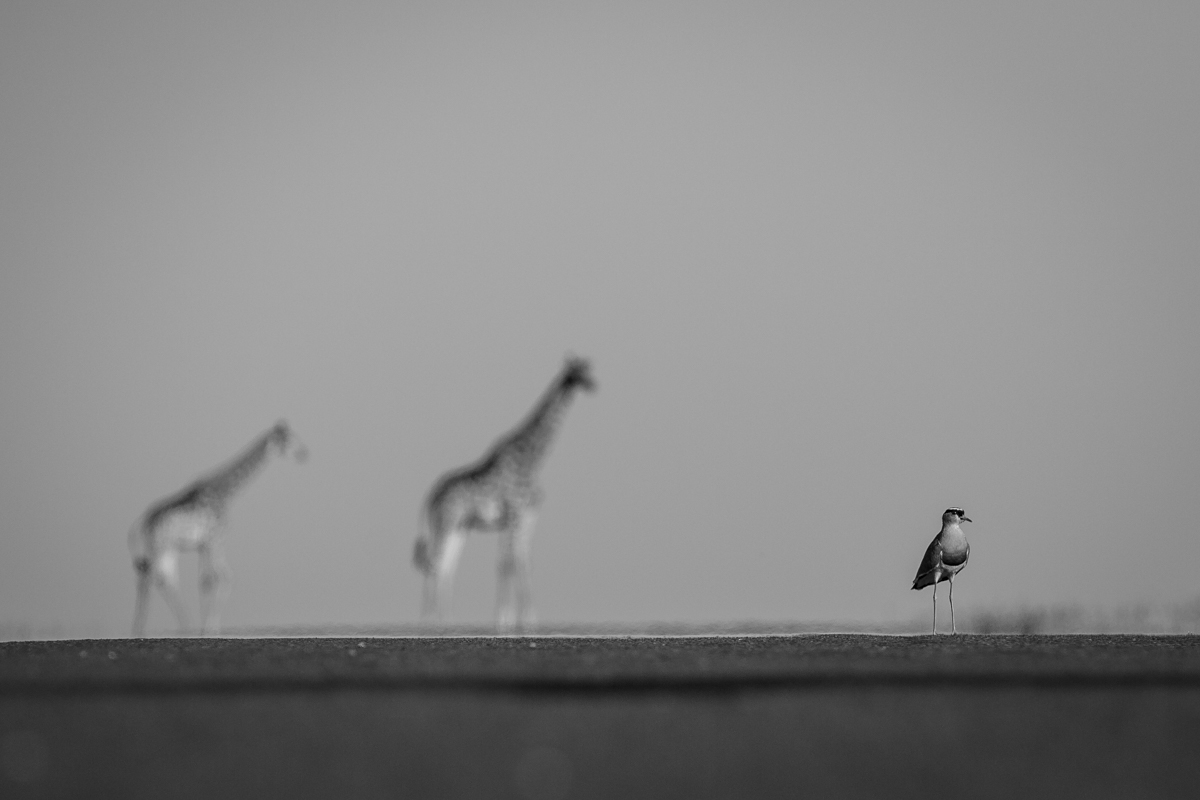 Plover_Giraffe