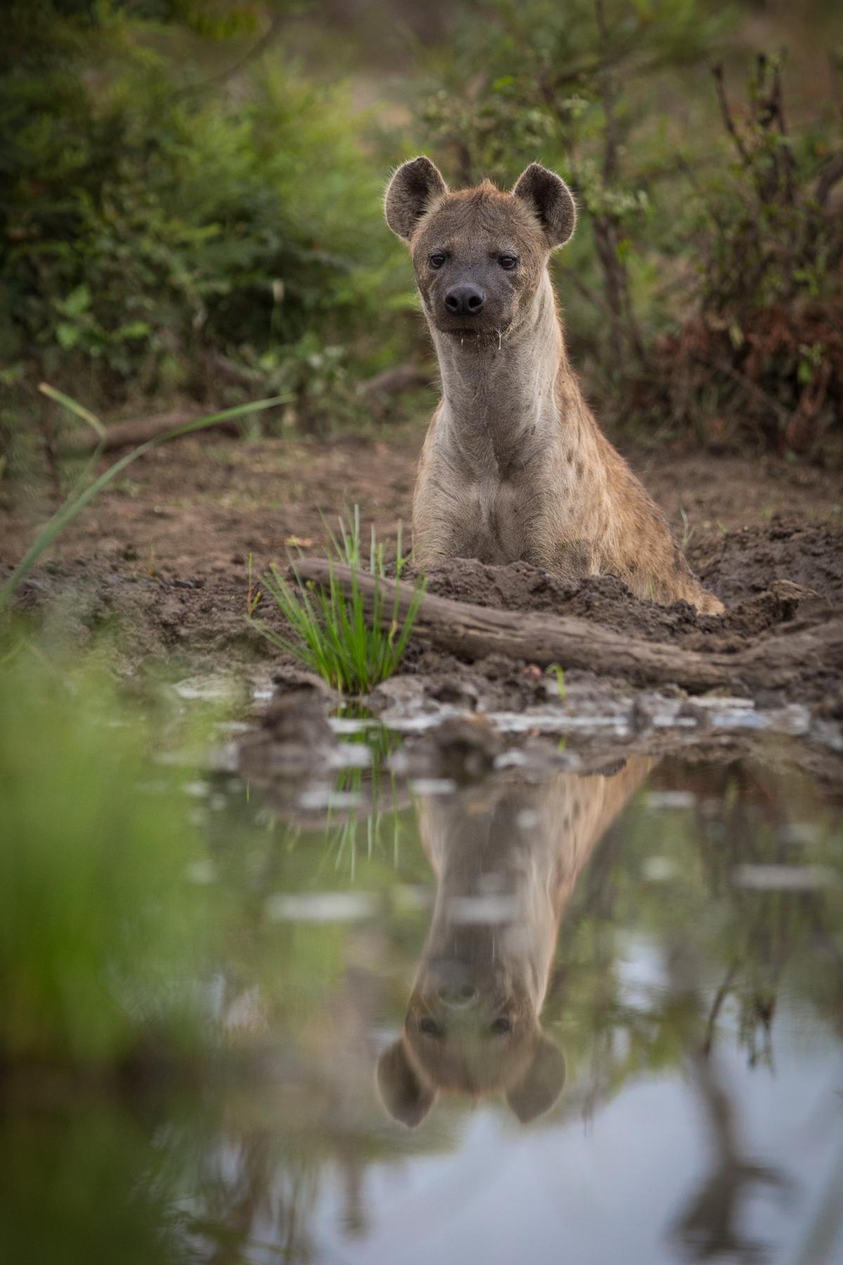 Hyena_Bath