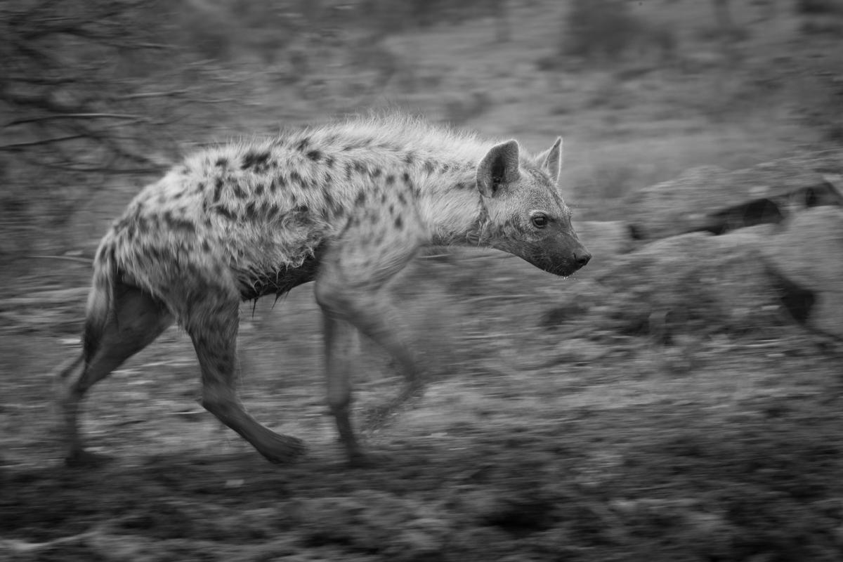 Hyena BW