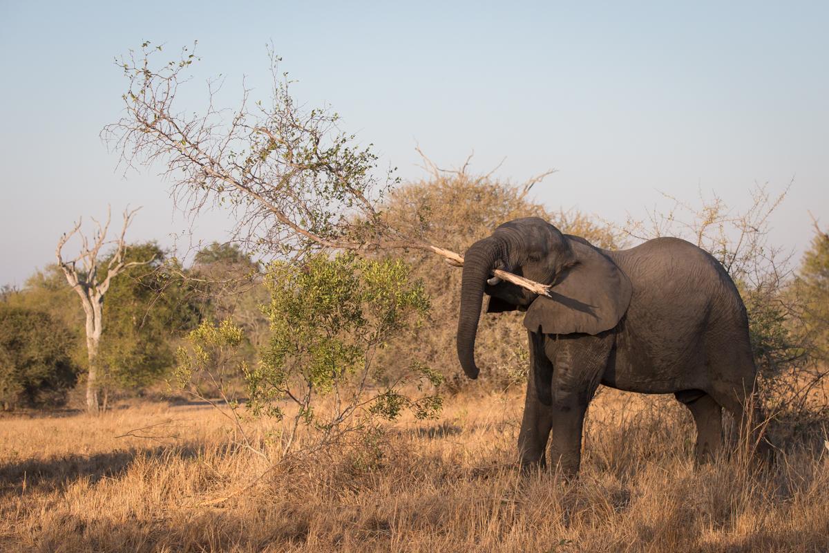 Elphant Branch
