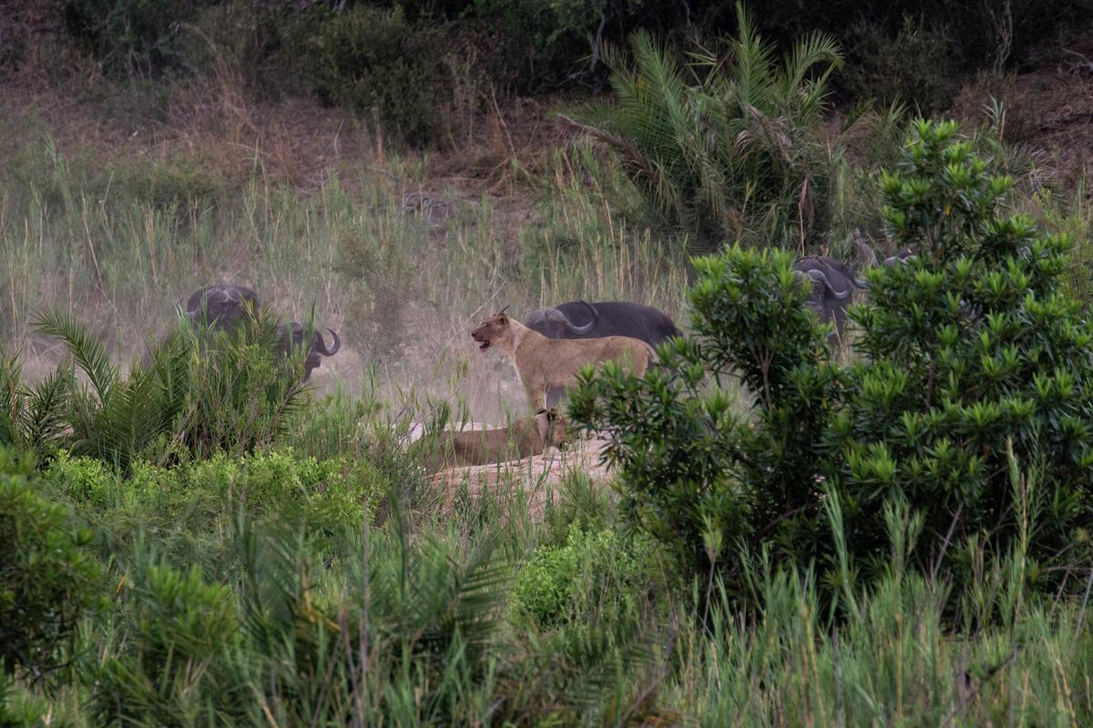 Mhangeni_Buffalo