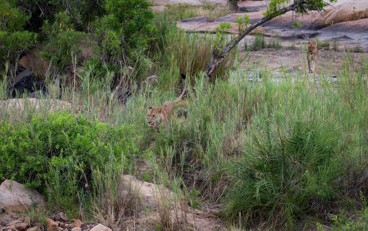 Lion fleeing Reeds
