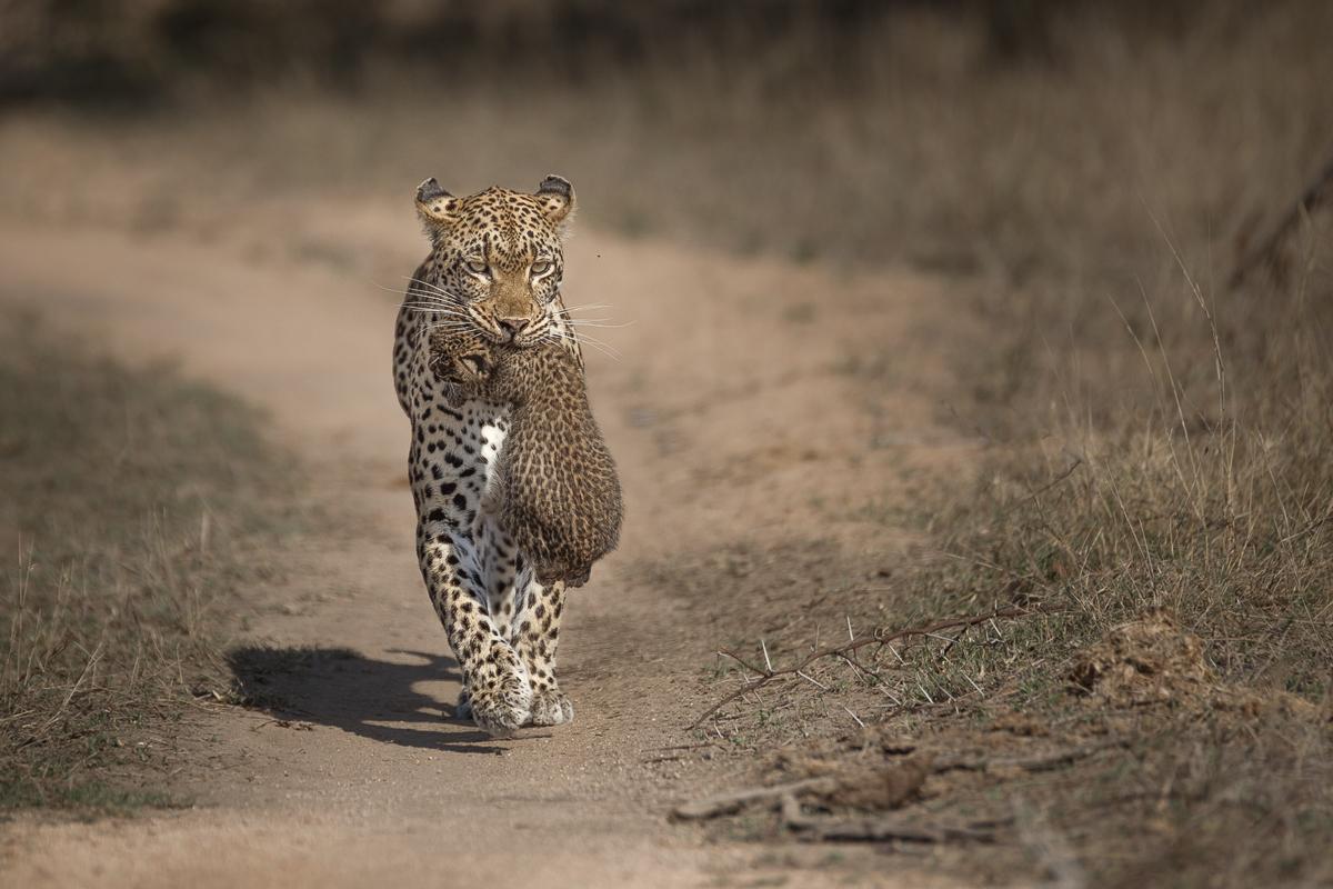 tamboti carrying cub (TMP)