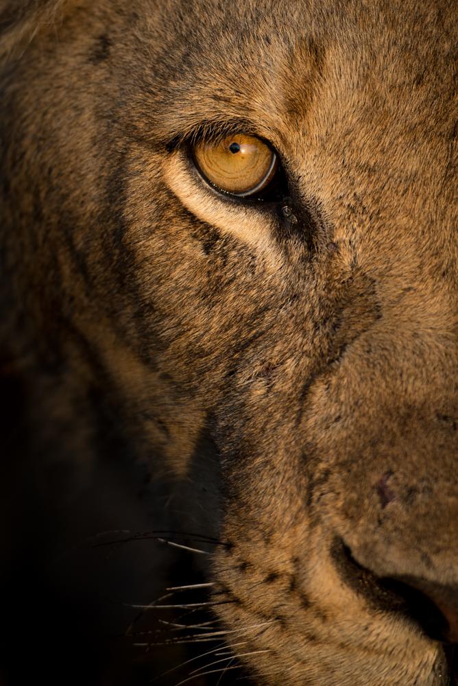 mhangeni lioness, jan 2016