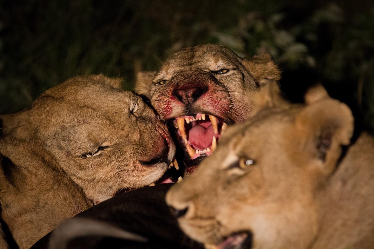 Lions Bickering