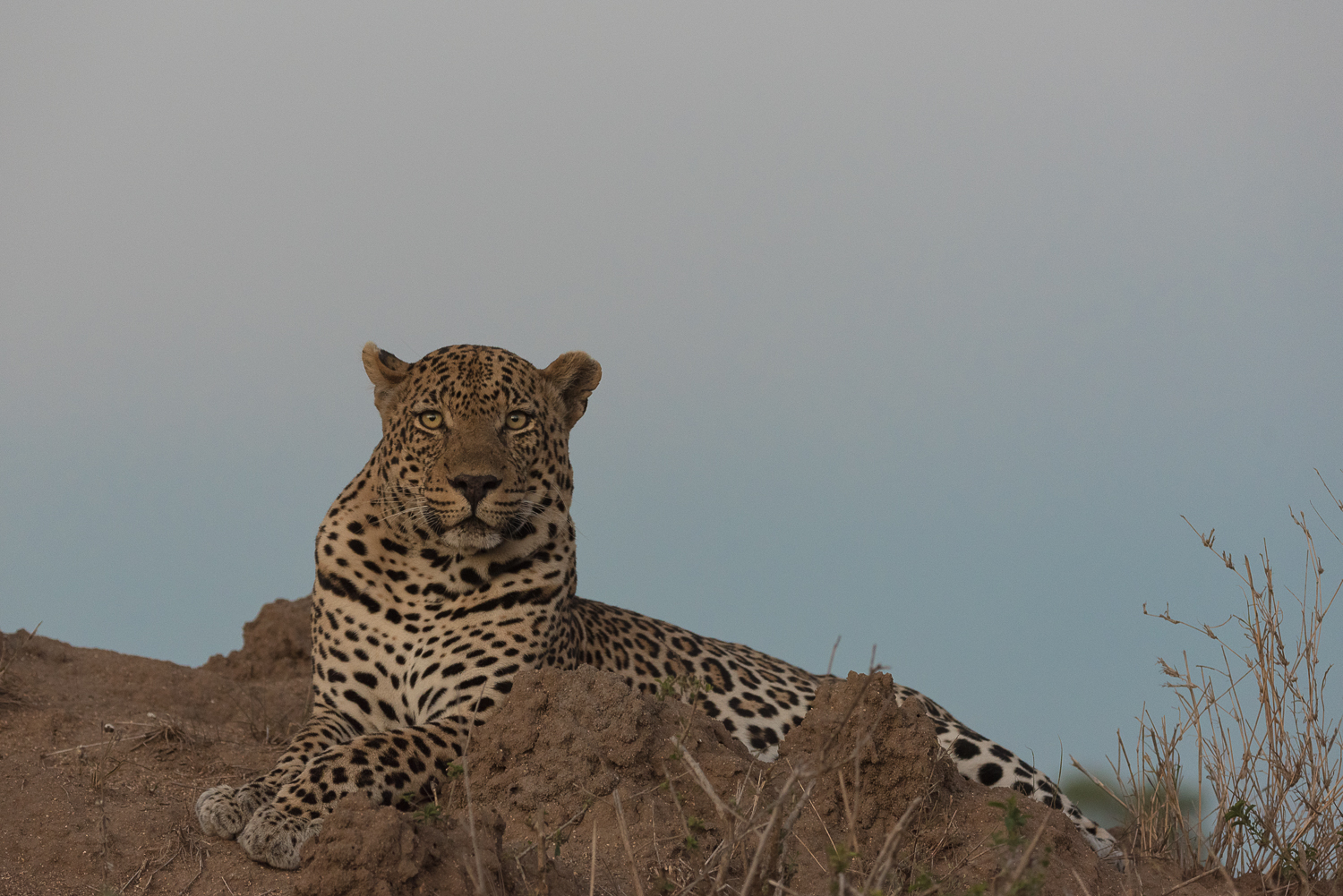 As the day settles into dusk, the Piva male leopard slowly starts his evening off, taking in his surroundings from atop a termite mound.