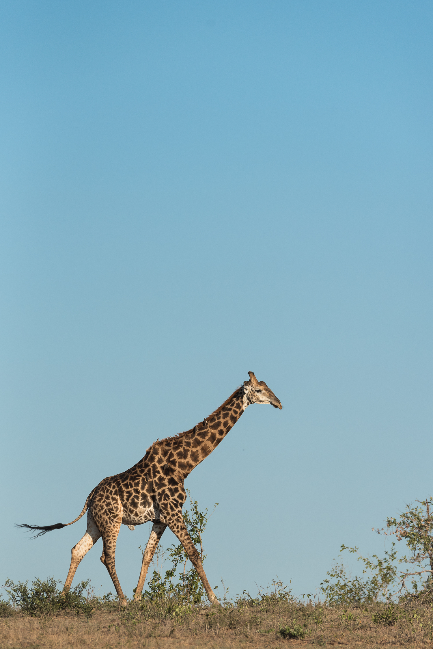 As this giraffe floated effortlessly across the ridge we were left with very few words.