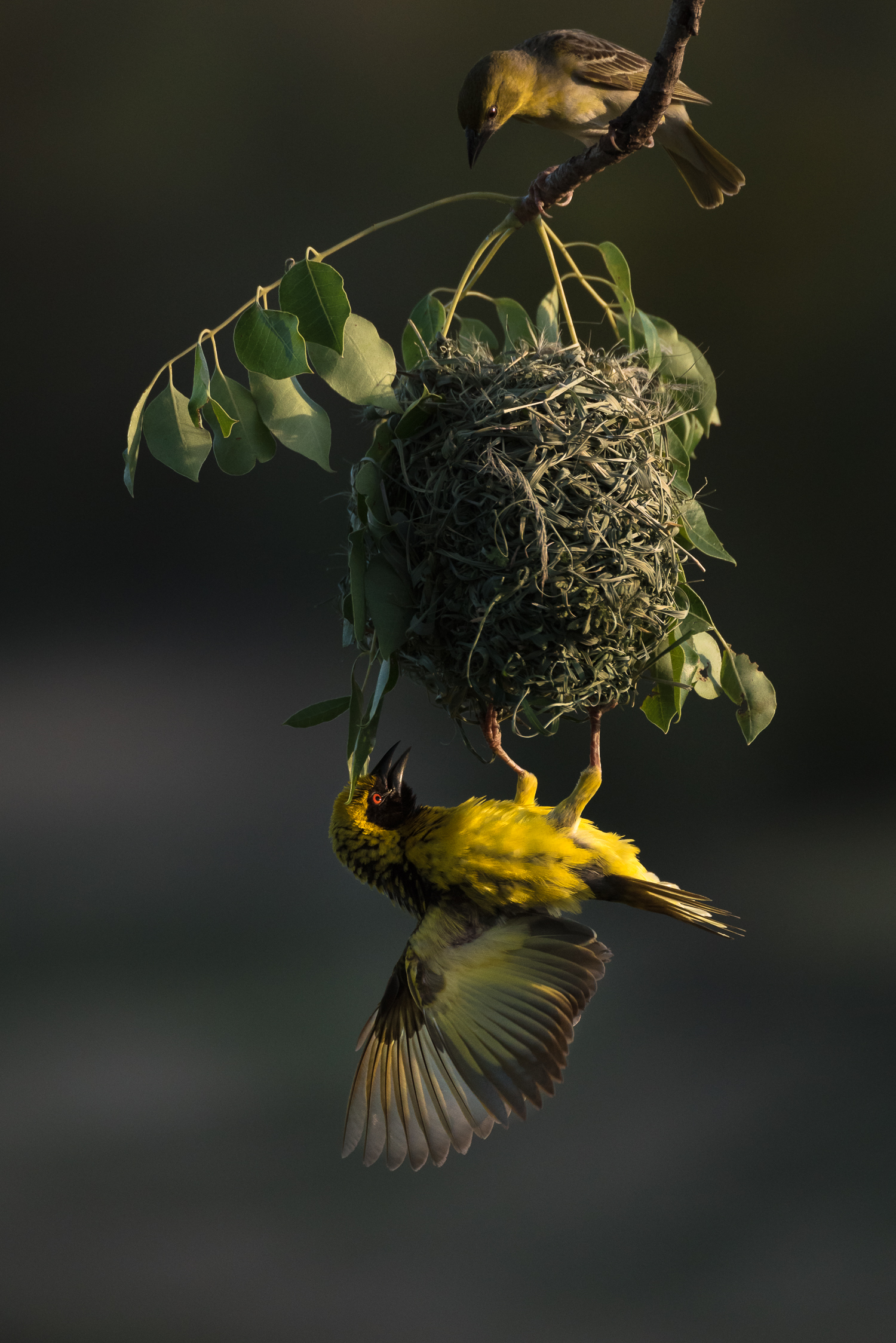 Time for inspection. Hanging from his near perfect creation, a male weaver tries to convince a potential mate THIS is the nest and partner to choose this breeding season.